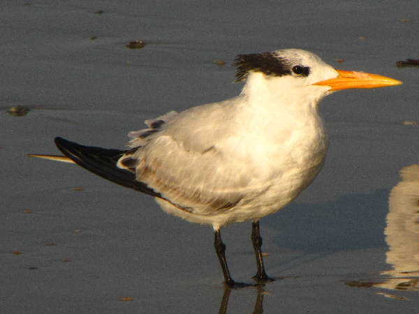 picture of a Royal Tern at the beach