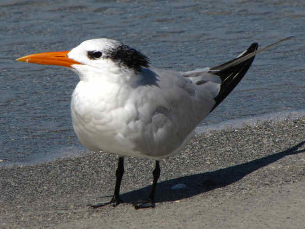 picture of a Royal Tern