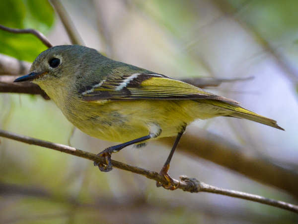 picture of a ruby-crowned kinglet