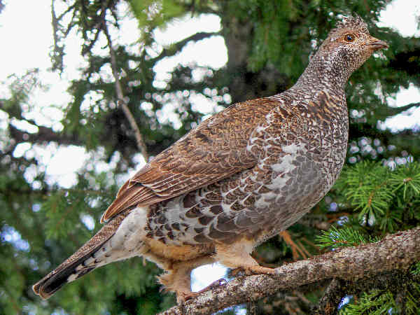 picture of Ruffed Grouse