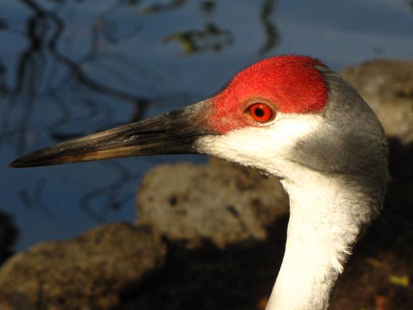 picture of a Sandhill Crane