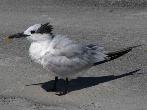 picture of a Sandwich Tern