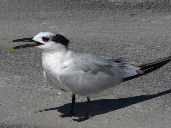 picture of a Sandwich Tern at the beach