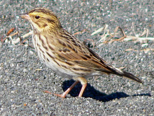 picture of a Savannah Sparrow