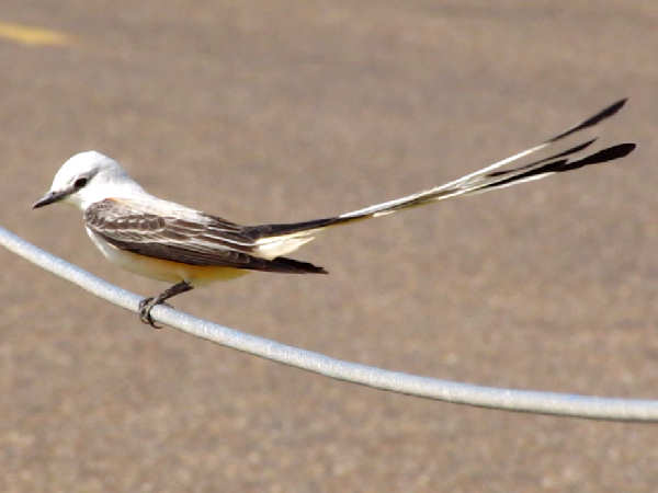 picture of a Scissor-tailed Flycatcher (Tyrannus forficatus)
