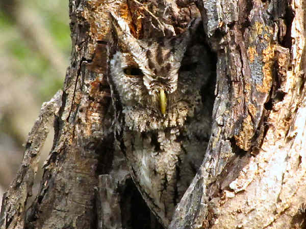 picture of a Screech Owl