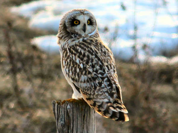 picture of a Short-eared Owl, Owl identification guide