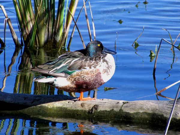 picture of a male Norther Shoveler duck