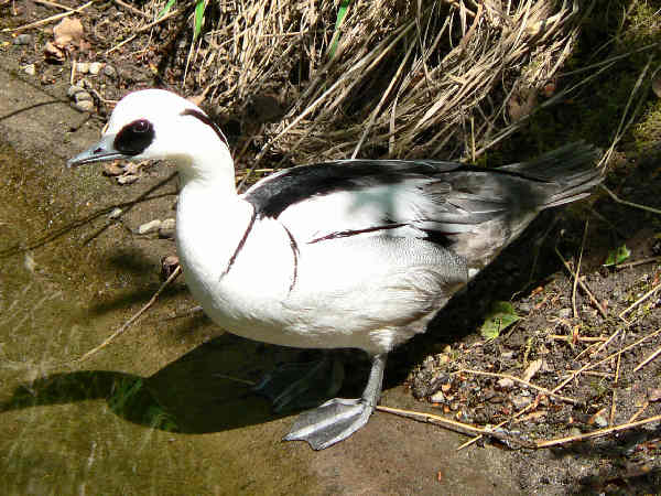 picture of a Smew, a rare duck of Alaska, part of the Alaska birds series