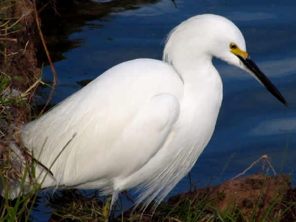 picture of a Snowy Egret