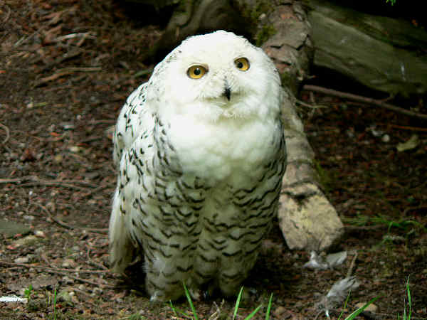 picture of a Snowy Owl, part of the Owl pictures and identification guide