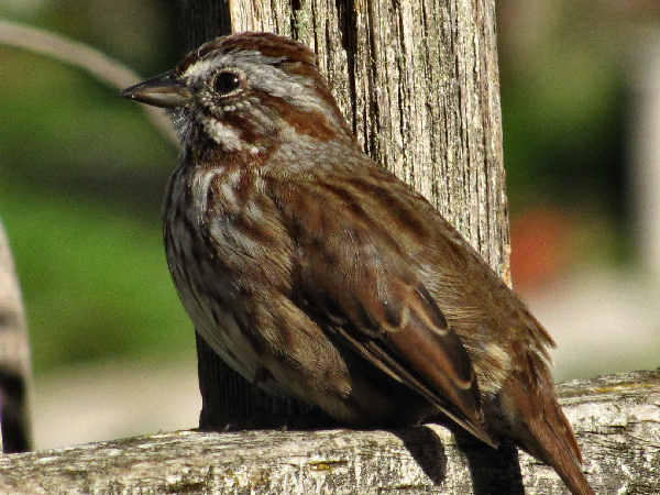 picture of a song sparrow sitting on a fence