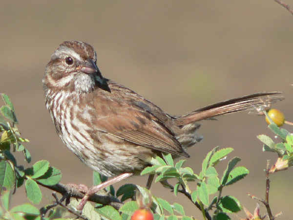picture of a Song Sparrow