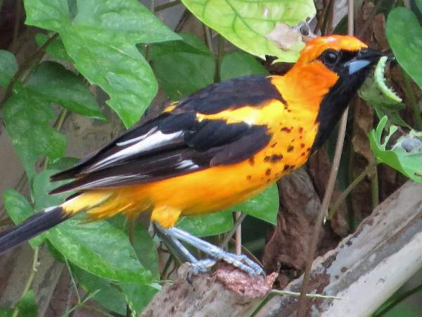 picture of a Spot-breasted Oriole
