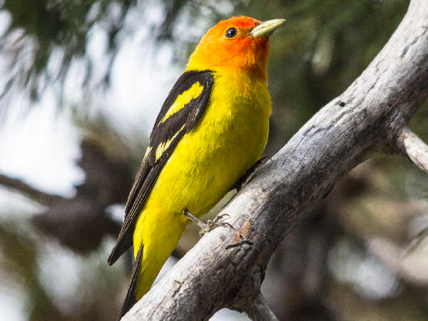 picture of a Western Tanager