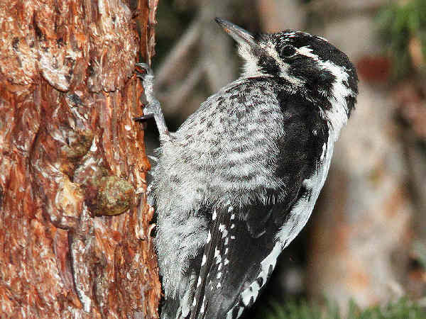 picture of a Three-toed Woodpecker