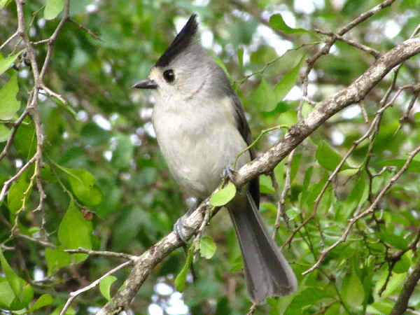 picture of a black-crested titmouse