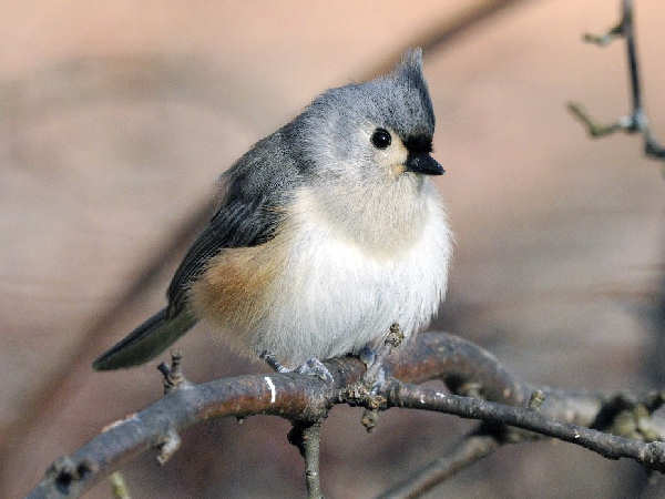 picture of a Tufted Titmouse