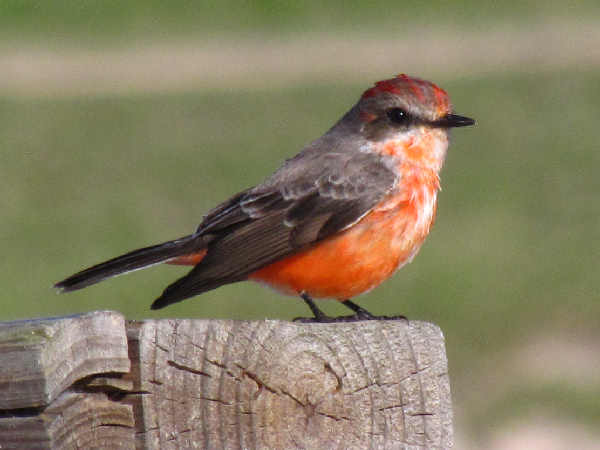 picture of a male Vermilion Flycatcher