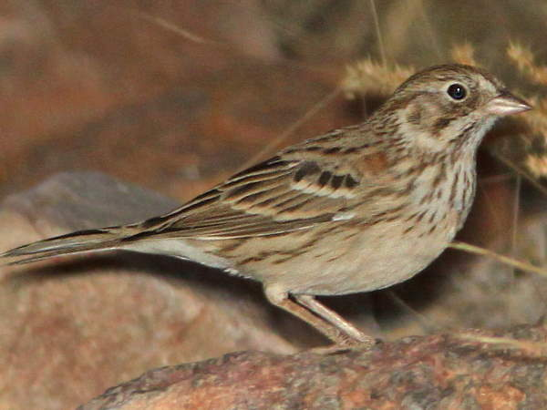 picture of a Vesper Sparrow