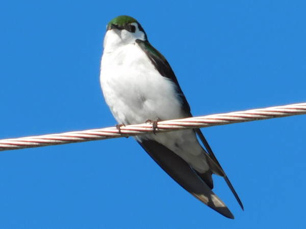 picture of a Violet Green Swallow