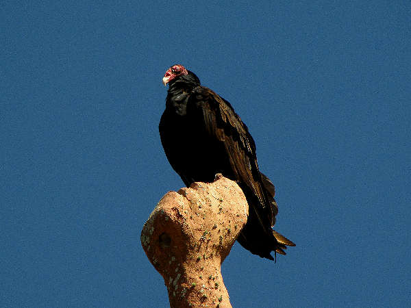 picture of a Turkey Vulture at Tomoka State Park, Florida
