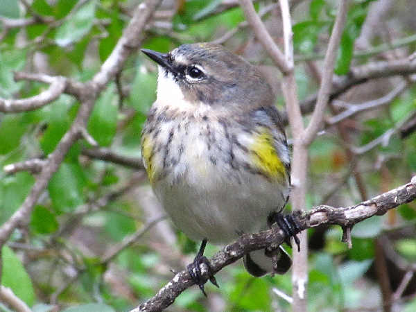 picture of a female Yellow-rumped warbler, myrtle subspecies