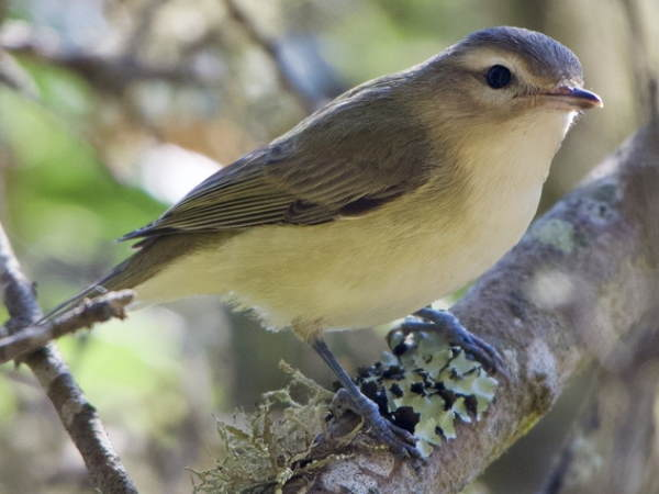 picture of a Warbling Vireo
