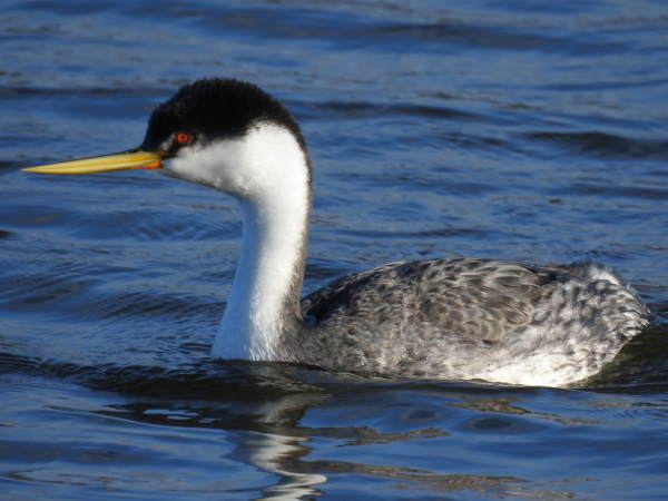 picture of a Western Grebe