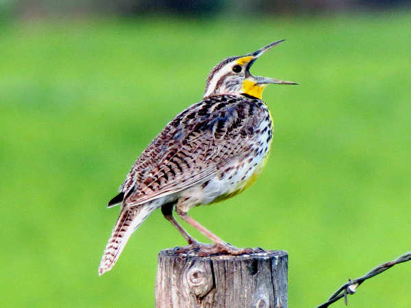 picture of a Western Meadowlark, the state bird of Kansas, and part of the Kansas birds section