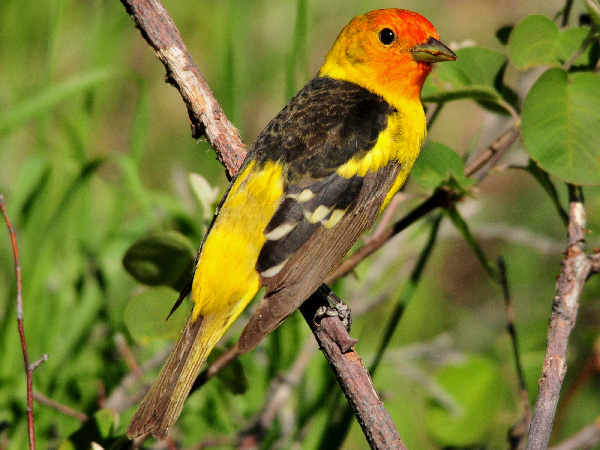 picture of a male Western Tanager