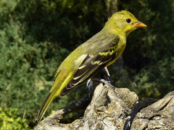 picture of a female Western Tanager Warbler