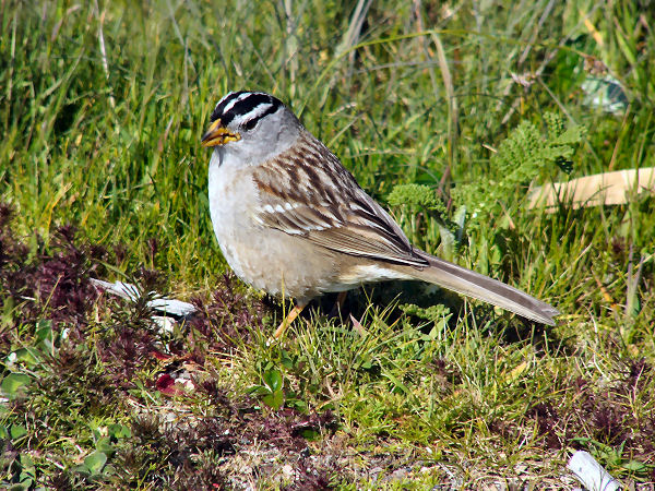 picture of a white crowned sparrow