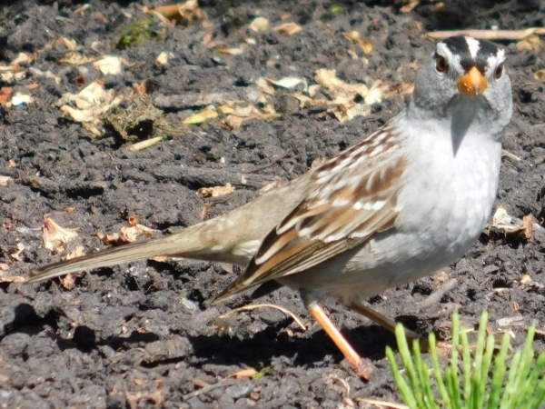 picture of a White-crowned Sparrow