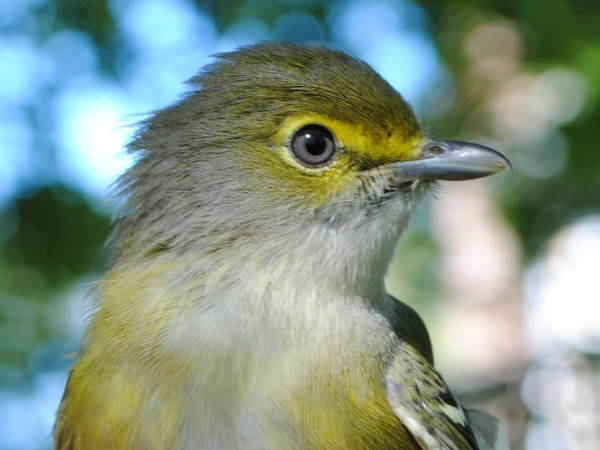 picture of a White-eyed Vireo