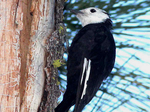 picture of a White Headed Woodpecker