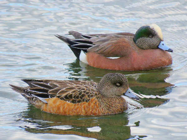 picture of a pair of American Wigeon ducks