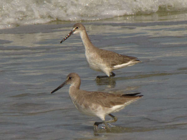 picture of a pair of Willets at the beach