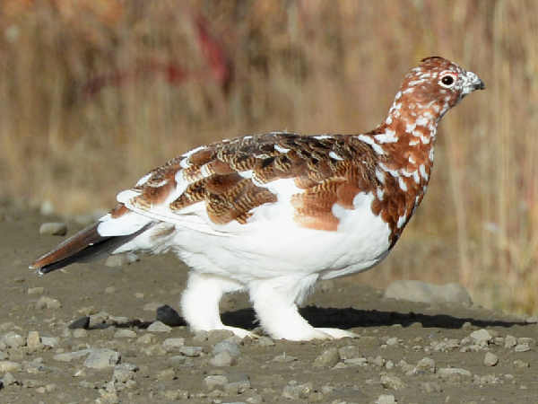 picture of a Willow Ptarmigan, the state bird of Alaska, and part of the Alaska birds section