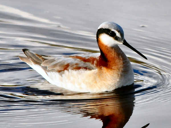 picture of a Wilson's Phalarope