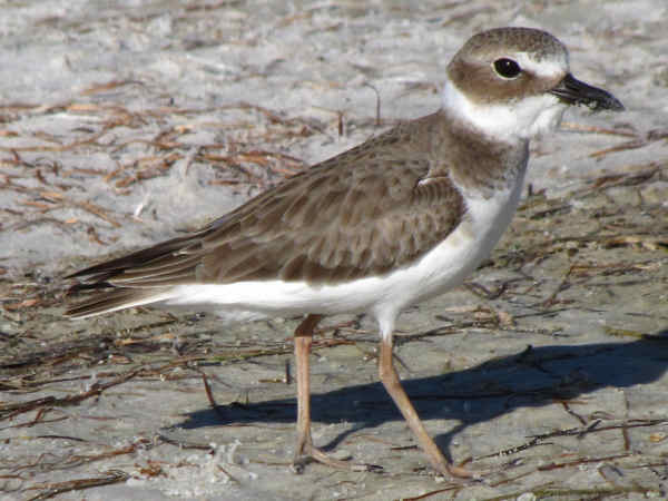 picture of a Wilson's plover