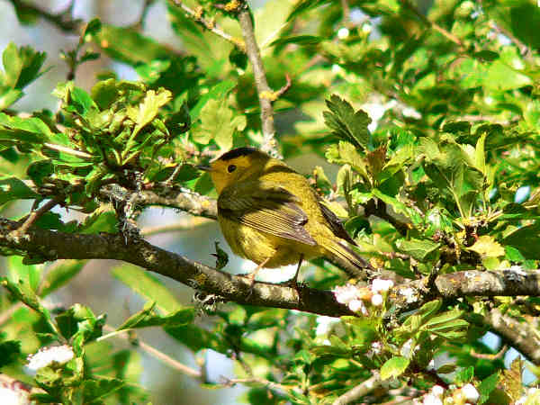 picture of a Wilson's Warbler