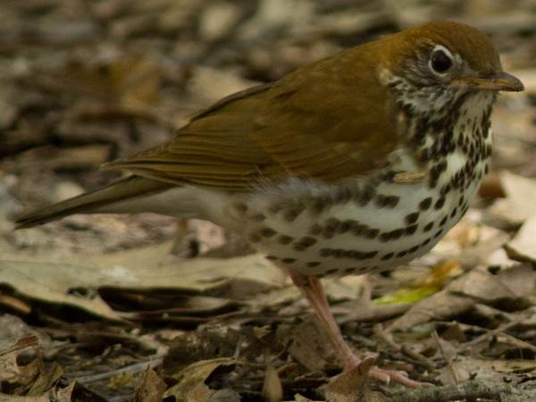 picture of a Wood Thrush, one of many migratory song birds in Georgia