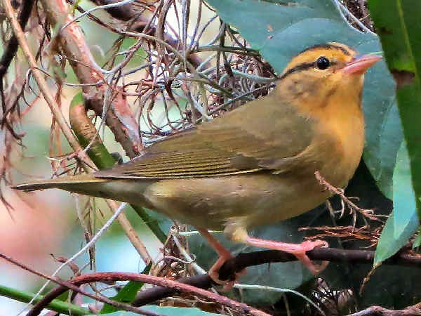picture of a Worm Eating Warbler