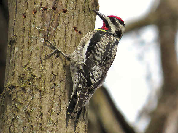 picture of a Yellow-bellied Sapsucker