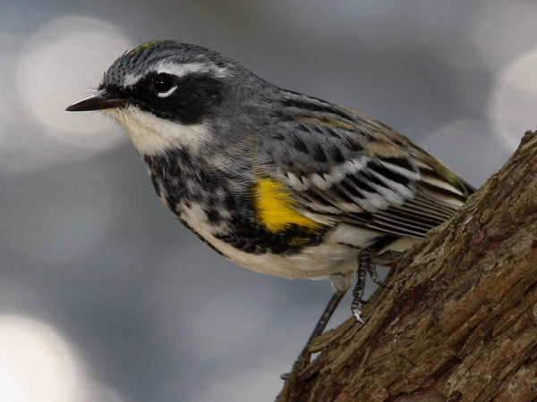picture of a male Yellow-rumped warbler, Michigan birds