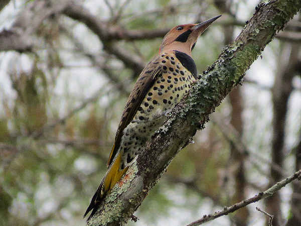 picture of a yellow-shafted Northern Flicker, one of the more common Indiana woodpeckers