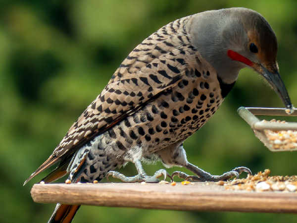 picture of a yellow-shafted Northern Flicker, one of the more common Michigan woodpeckers