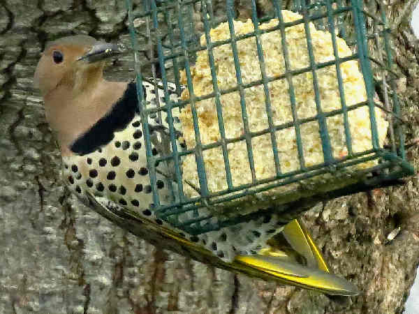 picture of a red-shafted Northern Flicker