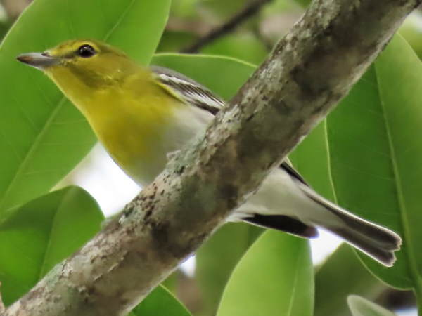 picture of a Yellow-throated Vireo